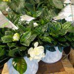 Gardenia dans des pots blancs