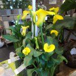 Fleur de calla jaune