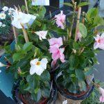 Dipladenia rose et dipladenia blanc en pot en osier