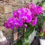 Orchidées Phalaenopsis sur fond de mur en pierre